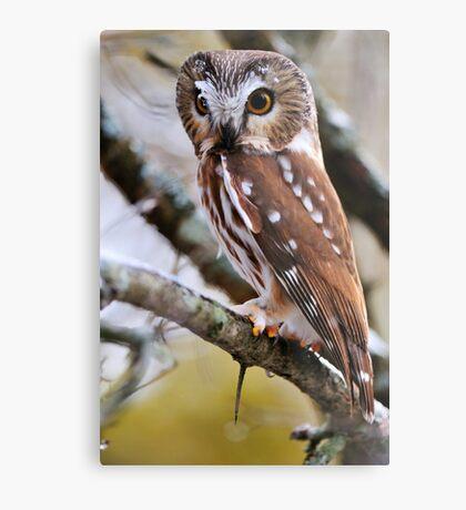 Northern Saw Whet Owl - Amherst Island, Ontario Metal Print