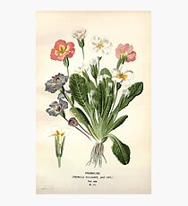 Favourite flowers of garden and greenhouse Edward Step 1896 1897 Volume 3 0056 Primrose Photographic Print