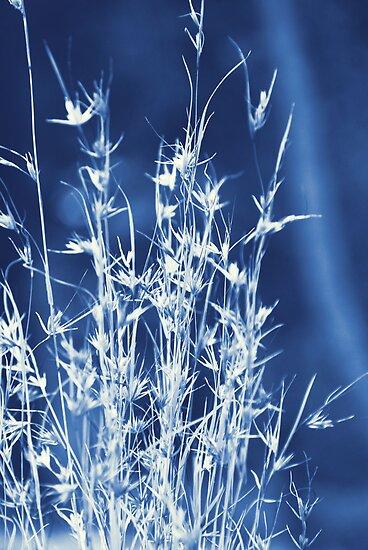 Cyanotype Native Lemongrass by Carol Knudsen