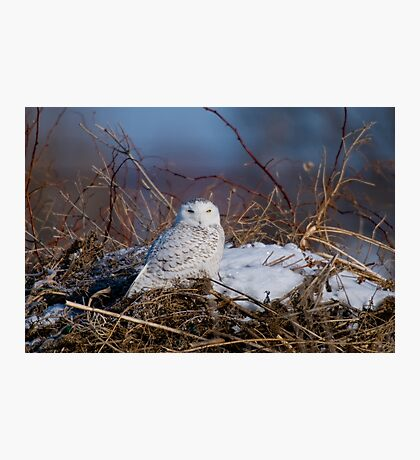 Snowy Owl on Hill Top - Amherst Island, Ontario Photographic Print