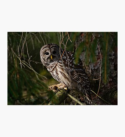 Barred Owl in Pine Tree -  Brighton, Ontario - 4 Photographic Print