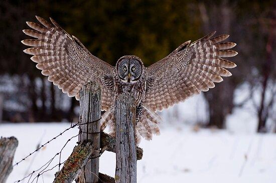 Great Grey Owl by Michael Cummings