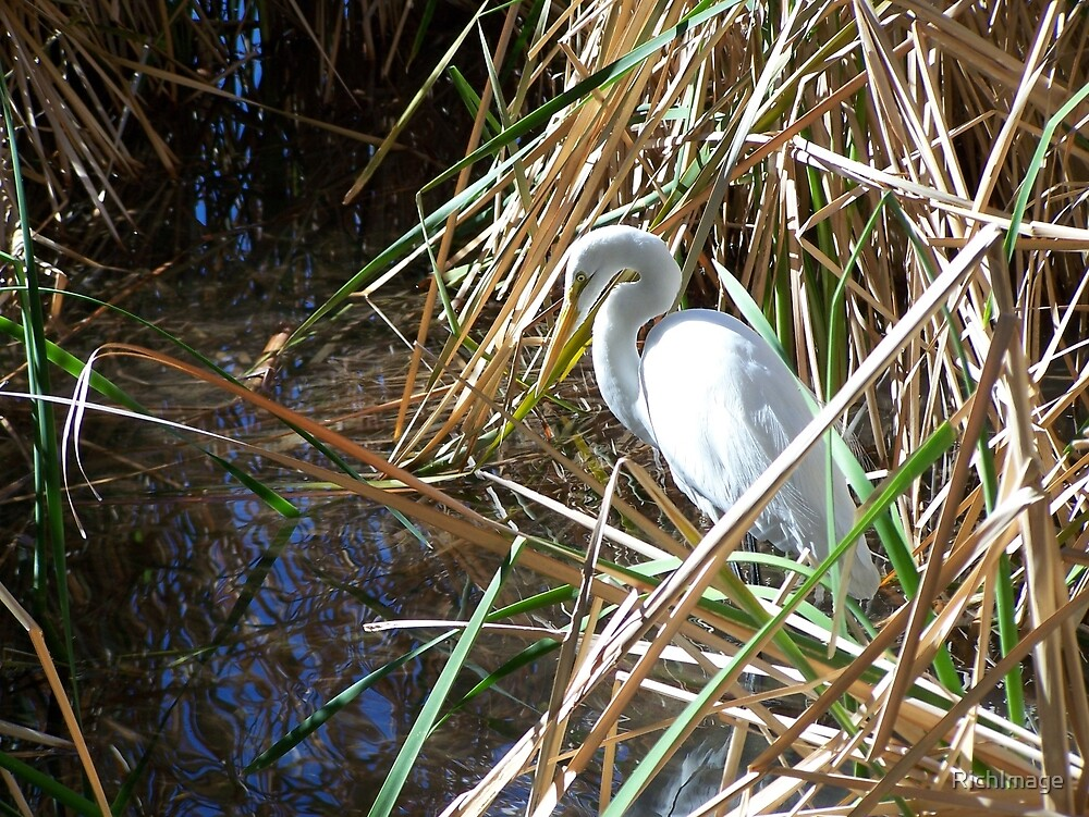 egret among the reeds by RichImage
