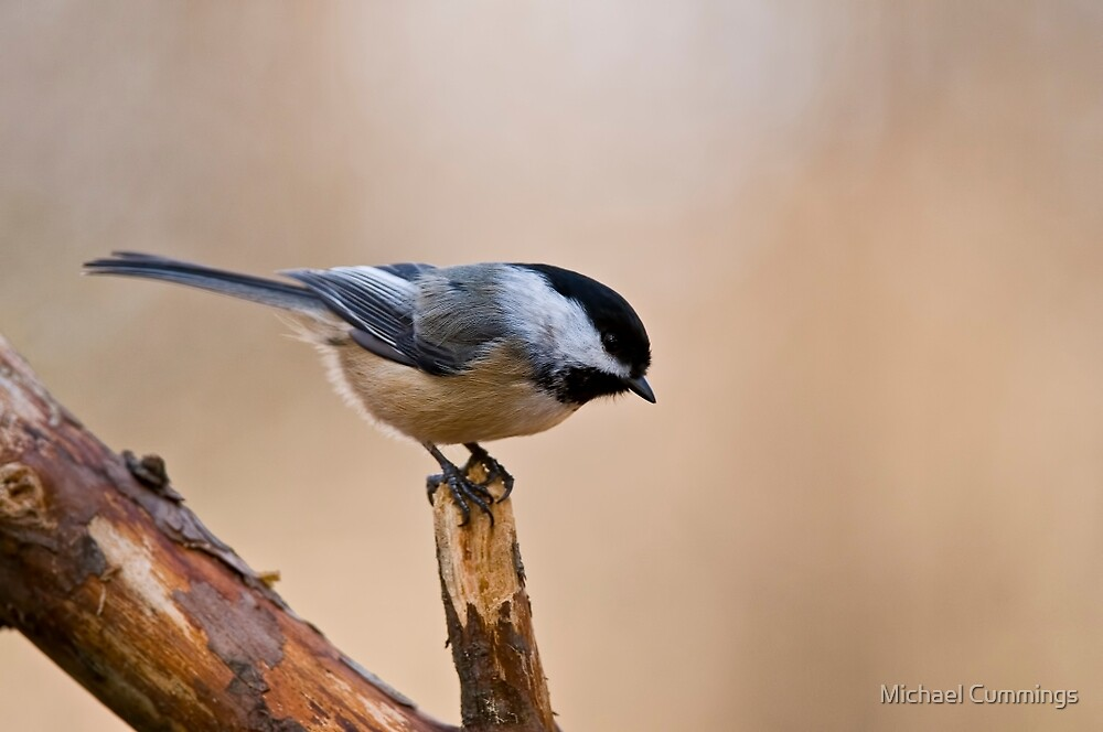 Black Capped Chickadee on Branch - Ottawa, Ontario by Michael Cummings