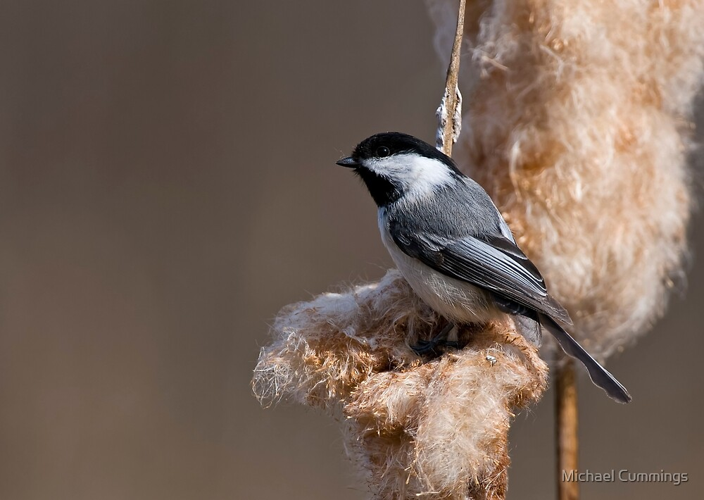 Black Capped Chickadee on Cattail Fluff - Ottawa, Ontario by Michael Cummings