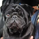 The black Pug. by James  Kerr