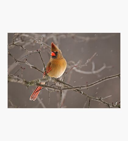 Female Northern Cardinal Photographic Print