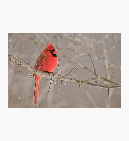 Male Northern Cardinal Photographic Print