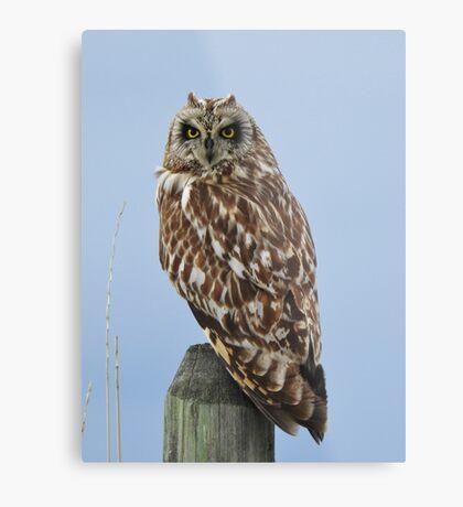 Shorteared Owl Metal Print