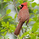 Northern Cardinals by Michael Cummings