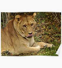 lioness looking forward to having you for lunch............... Poster