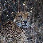Cheetah by Neil Messenger