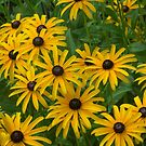 Brown Eye Susans by Imagery