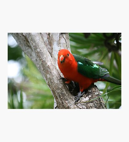 A Friendly Male King Parrot Photographic Print
