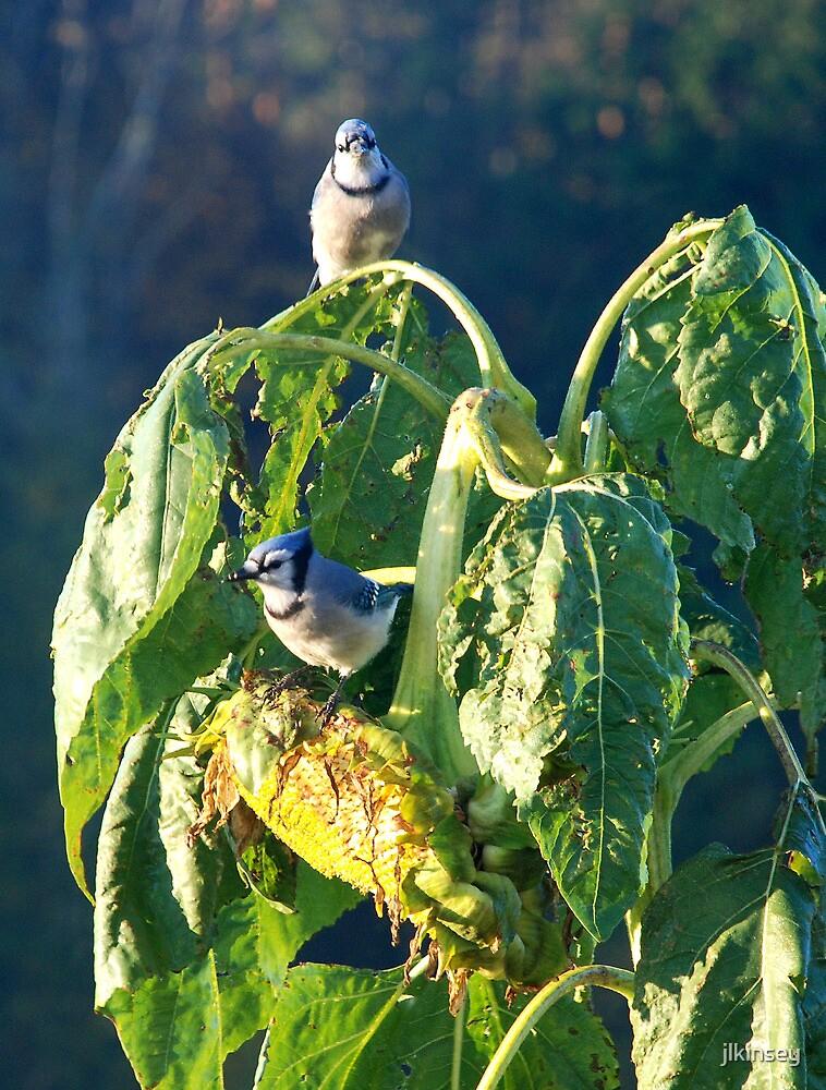 Blue Jay Breakfast by jlkinsey