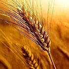 Wheat by Grinch/R. Pross