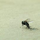 Dead Dusty Fly by pturner