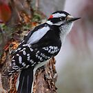 Downy Woodpecker by naturalnomad