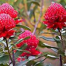 Waratah flowers by Richard  Windeyer