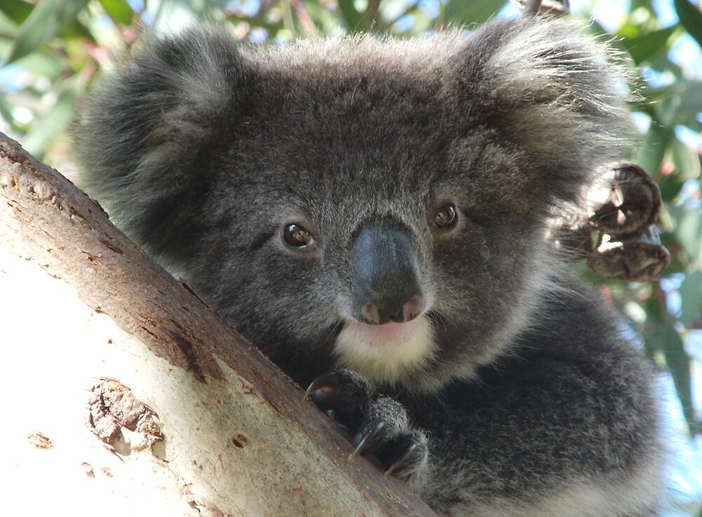 Baby Koala (Phascolarctos cinereus) Close-Up Portrait - Mount Osmond, South Australia by Dan Monceaux