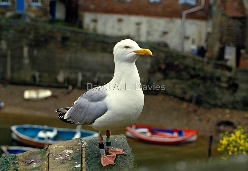 A Herring gull close up. 1980s by David A. L. Davies