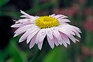 Raindrops on a Daisy by Debbie Pinard