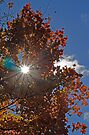 Here Comes the Sun - Red Maple by Debbie Pinard