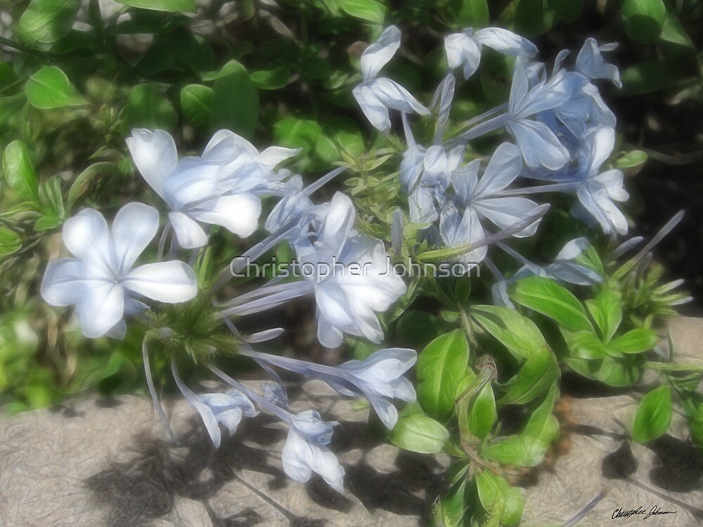 Silky Soft Plumbago by Christopher Johnson