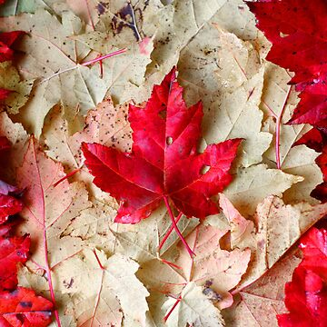 Maple Leaves by MBTheriault