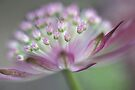 Astrantia by AnnieSnel