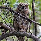 Fledgling Great Horned Owl ~ Focused by akaurora