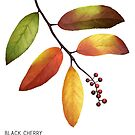Black Cherry Illustration by Julia Moore