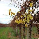 Winter vinyard  by Bluebelly