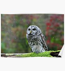Barred Owl being Bugged Poster