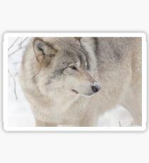 Timber wolf in winter Sticker