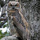 Fledgling Great Horned Owl ~ Blending In by akaurora