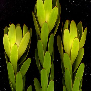 Leucadendron, flower scan by KirstenSpry