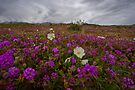 Verbena and Primrose by photosbyflood
