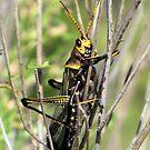 Horse Lubber Grasshopper by Kimberly Chadwick