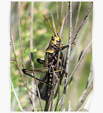 Horse Lubber Grasshopper Poster