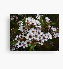 Chamelaucium uncinatum, Geraldton Wax Canvas Print