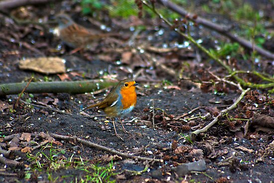 Robin by Trevor Kersley