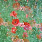 Summer Poppies by KaiWilliams