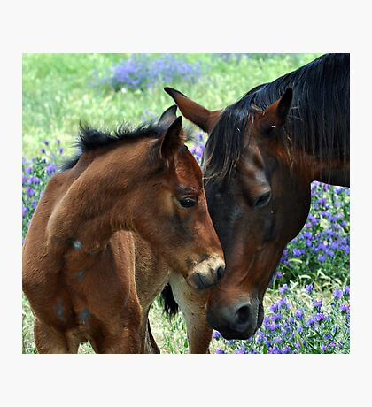 A  mothers love    Black beauty and her filly Photographic Print