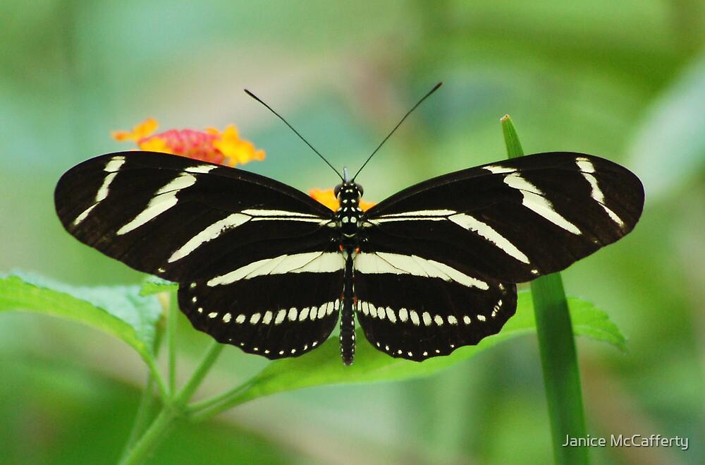 Zebra Longwing by Janice McCafferty
