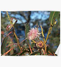 eucalyptus flower Poster