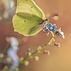 Yellow butterfly on forget me not flowers by JBlaminsky