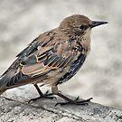 Starling Fledgling by Sandra Cockayne