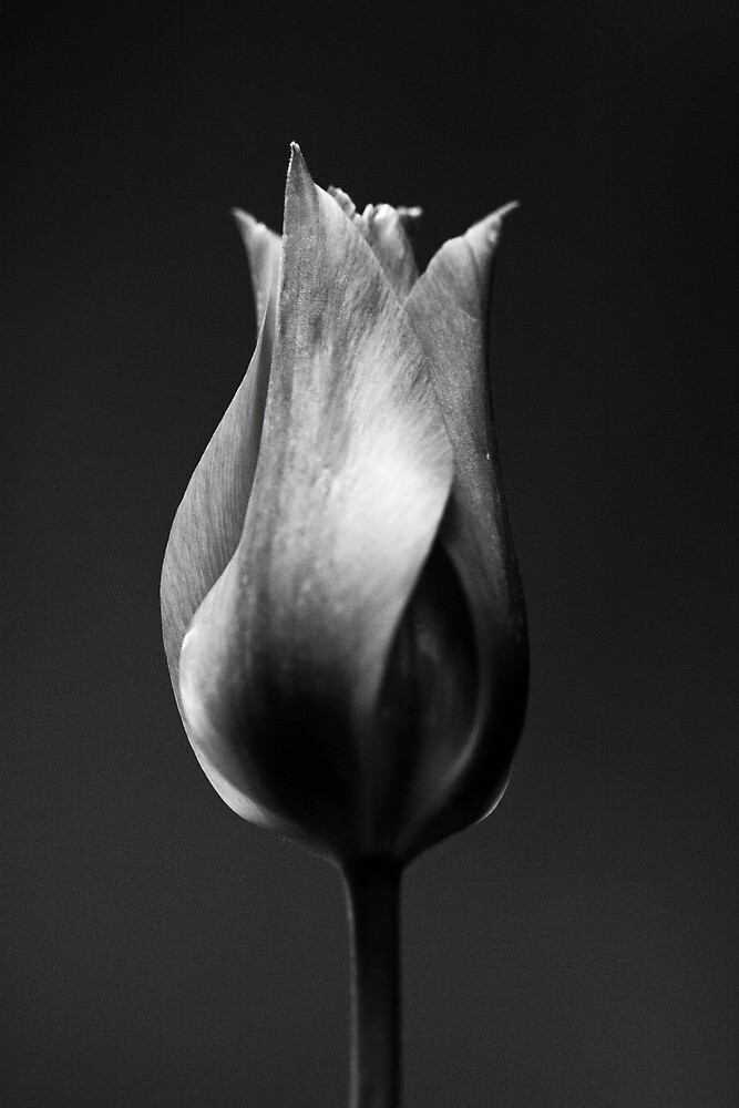Portrait of a Tulip by Rhana Griffin