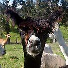 Alpaca 2 by Odille Esmonde-Morgan